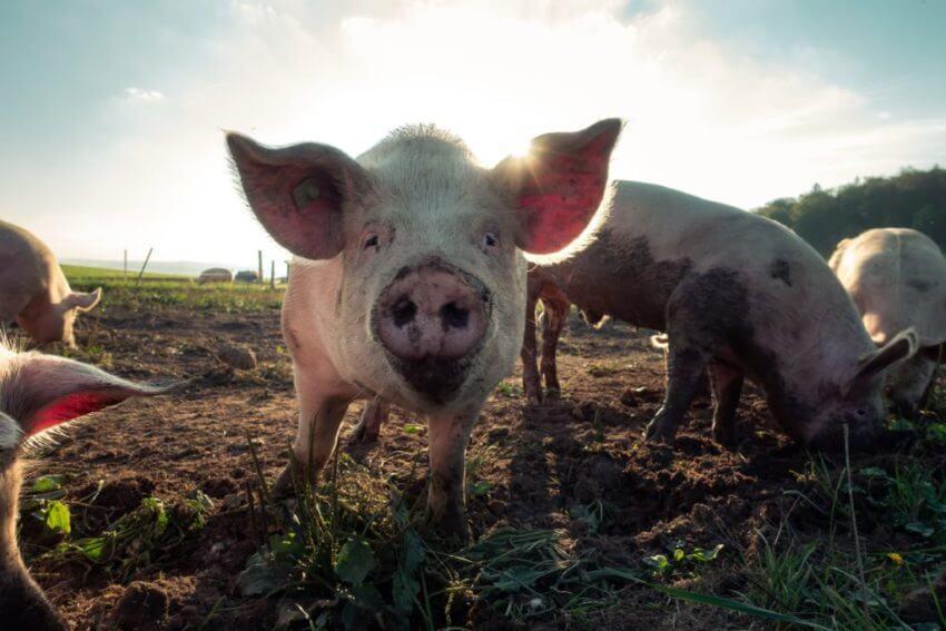 IGF funds porky whites
